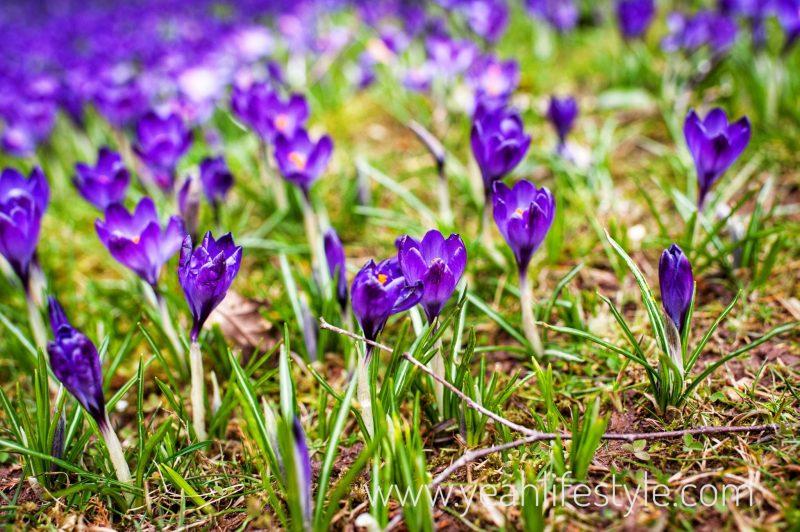 Trentham-Gardens-Staffordshire-Family-Blogger-UK-Kids-Bluebells