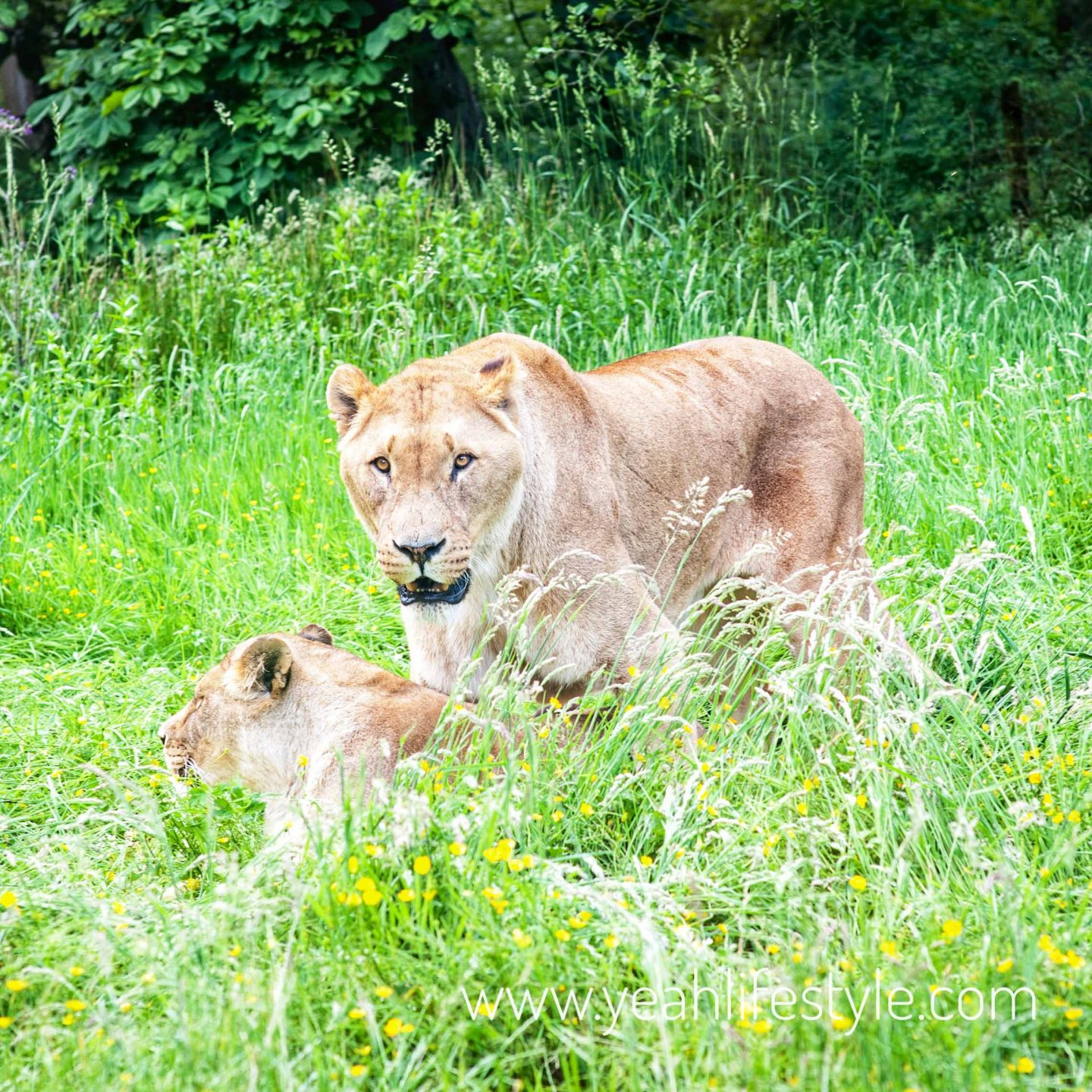 Knowsley-Safari-Park-Blogger-Review-Family-Day-Out-Lioness