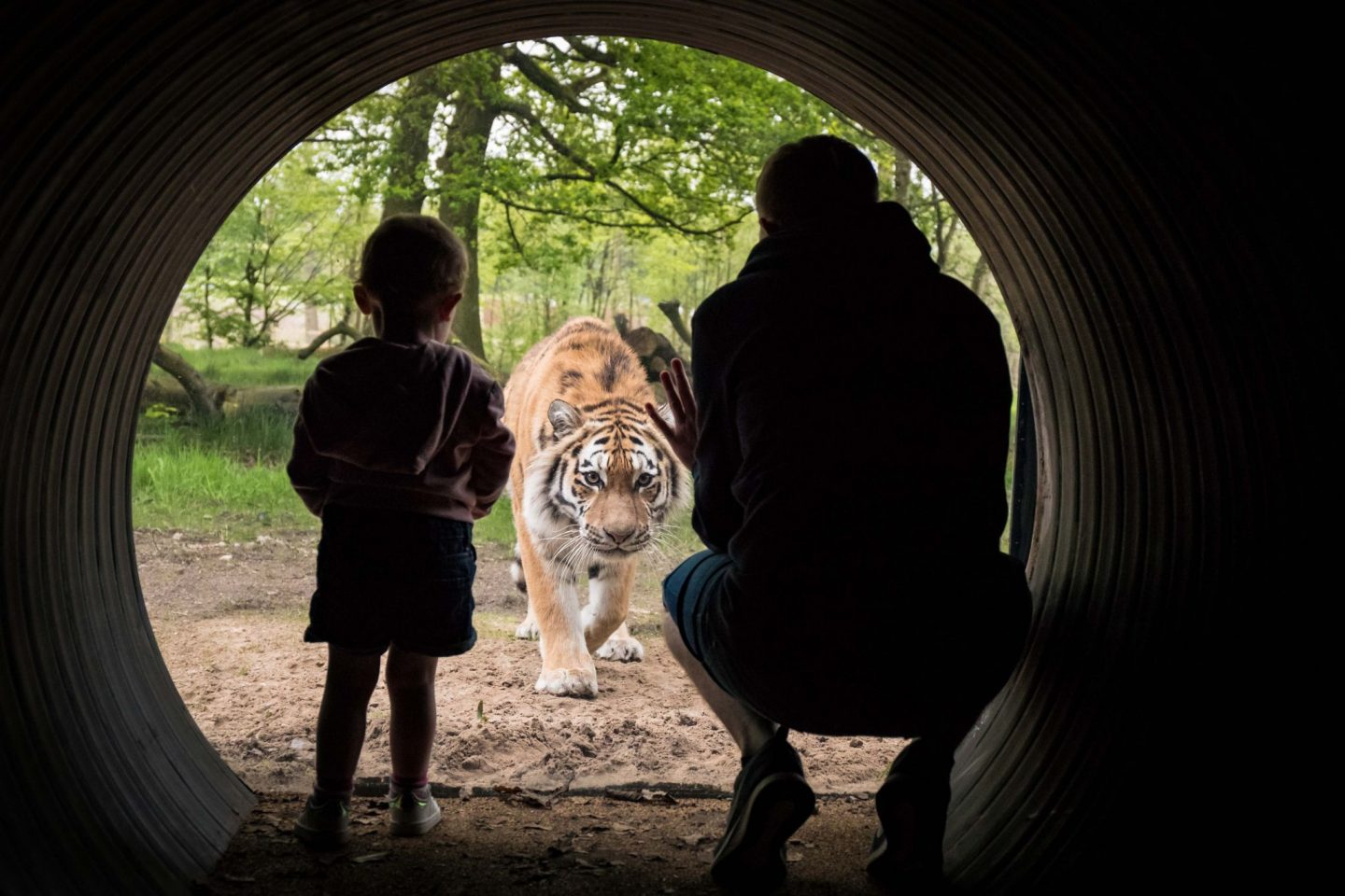 Knowsley-Safari-Park-Blogger-Review-Family-Day-Out-Tiger-Amur-Glass-View