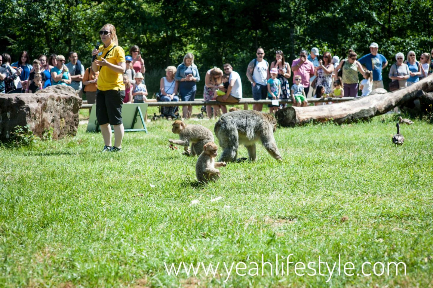 trentham-monkey-forest-travel-blogger-review-Barbary-macaque-feeding