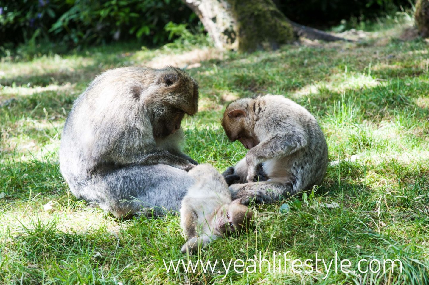 trentham-monkey-forest-travel-blogger-review-monkey-Barbary-macaque-family