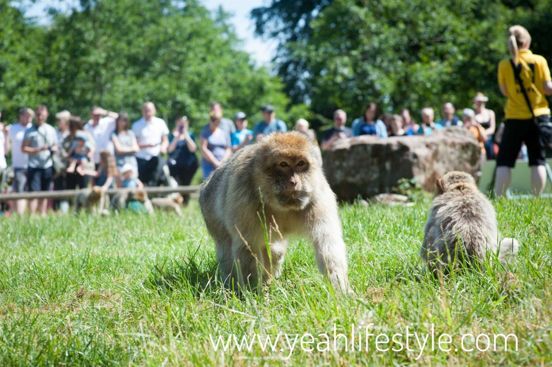 trentham-monkey-forest-travel-blogger-review-monkey-feeding-time-trentham